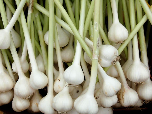 Чеснок (Allium sativum) Пряности и приправы   Чеснок (Allium sativum) Пряности и приправы