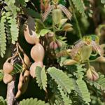 Тамаринд (Tamarindus indica) Пряности и приправы