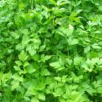 Петрушка (Petroselium crispum) Пряности и приправы