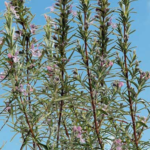 Розмарин (Rosmarinus officinalis) Пряности и приправы