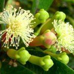 Гвоздика (Syzygium aromaticum) Пряности и приправы