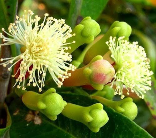 Гвоздика (Syzygium aromaticum)