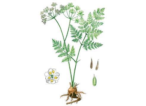 Кервель (Antbriscus cerefolium)