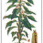 Кунжут (Sesamum indicum) Пряности и приправы