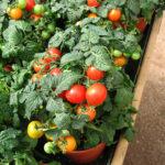 Помидоры «Сюрприз» Из овощей Помидоры