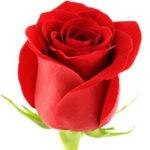 Троянда Украинская кухня