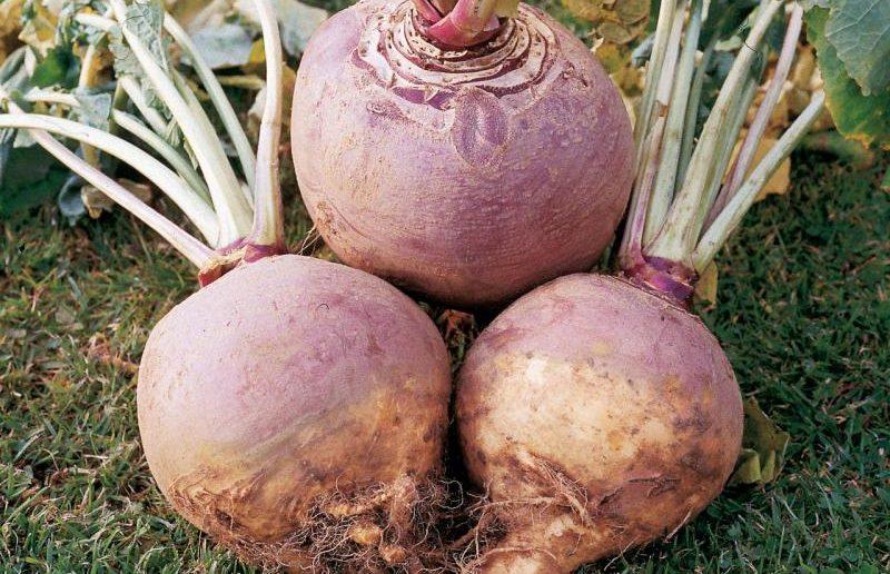 Брюква: сорта, выращивание, использование Польза продуктов Пряности и приправы