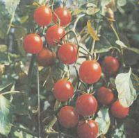 Лучшие сорта томатов, гибриды томатов Польза продуктов Пряности и приправы