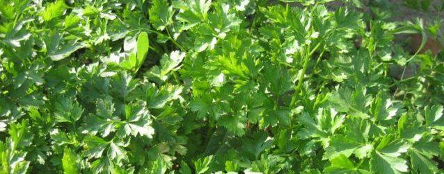 Сорта петрушки. Выращивание петрушки и ее свойства Польза продуктов Пряности и приправы