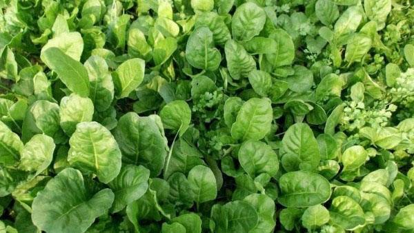 Сорта шпината, выращивание шпината
