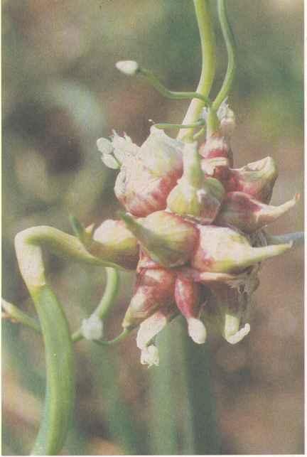 Соцветие с бульбочками (воздушными луковицами) лука многоярусного
