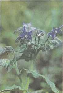 Свойства огуречной травы, выращивание Польза продуктов Пряности и приправы