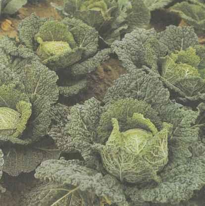 Свойства савойской капусты, выращивание и сорта