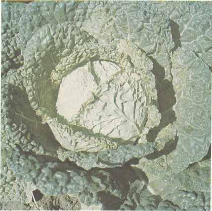 Капуста савойская, сорт Вертю 1340