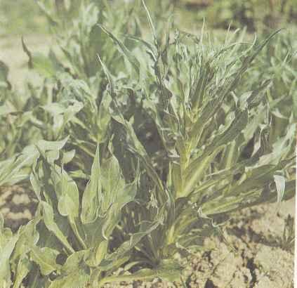 Свойства скорцонера и его выращивание Польза продуктов Пряности и приправы