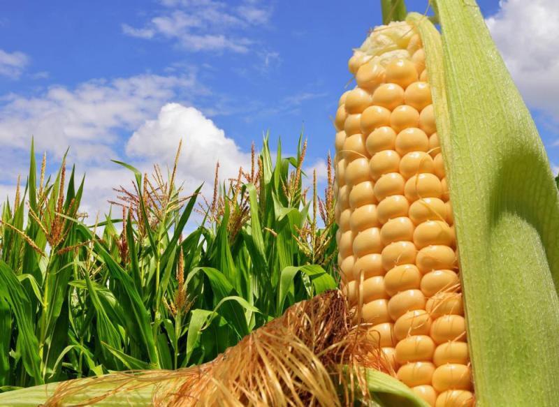 Возделывание кукурузы. Сорта сахарной кукурузы