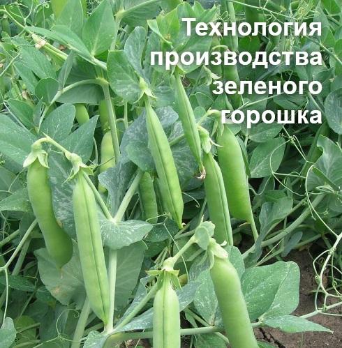 Возделывание, выращивание гороха. Сорта зеленого горошка