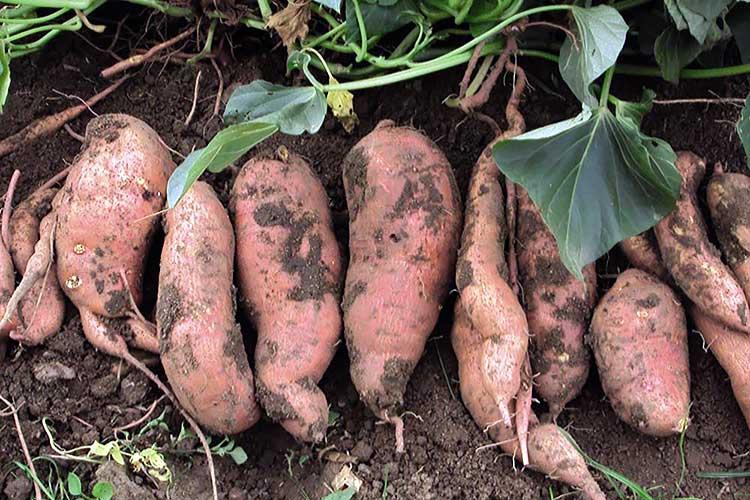 Выращивание батата, сорта батата, свойства