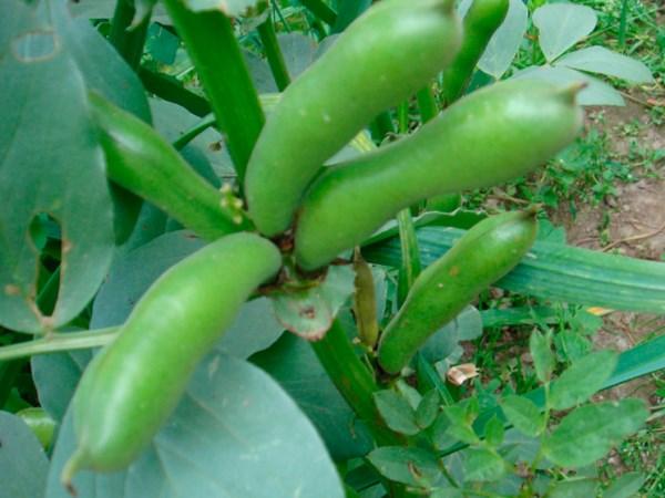 Выращивание бобов. Сорта бобов