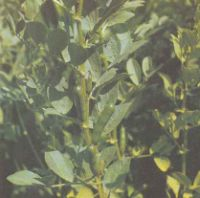Выращивание бобов. Сорта бобов Польза продуктов Пряности и приправы