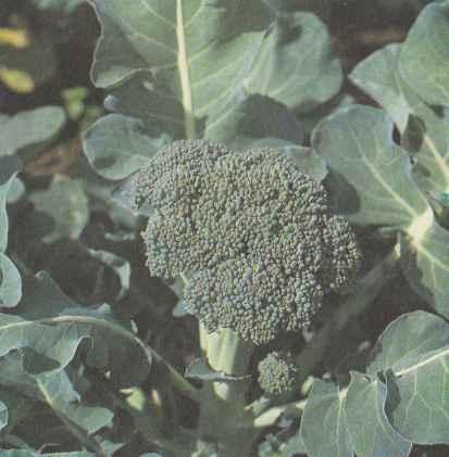 Выращивание брокколи, свойства брокколи Польза продуктов Пряности и приправы