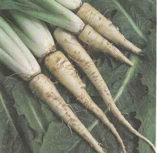 Выращивание цикория, свойства цикория Польза продуктов Пряности и приправы