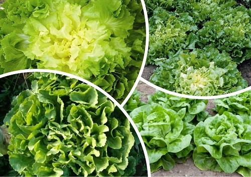 Выращивание эндивия и эскариола Польза продуктов Пряности и приправы