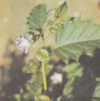 Выращивание физалиса. Сорта физалиса Польза продуктов Пряности и приправы