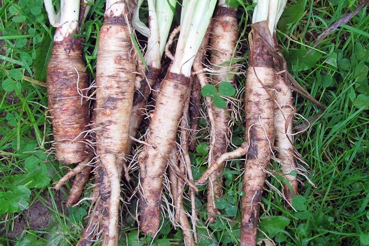 Выращивание и свойства овсяного корня Польза продуктов Пряности и приправы