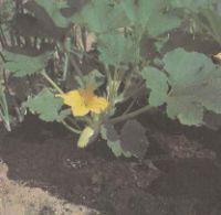 Выращивание кабачка и патиссона. Сорта кабачка, патиссона Польза продуктов Пряности и приправы