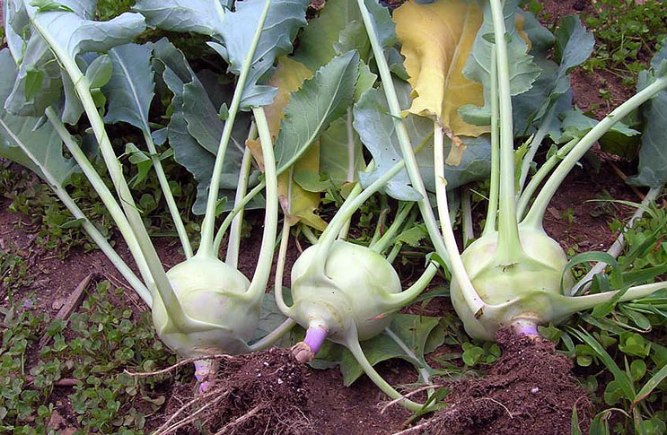 Выращивание кольраби. Сорта и свойства кольраби Польза продуктов Пряности и приправы