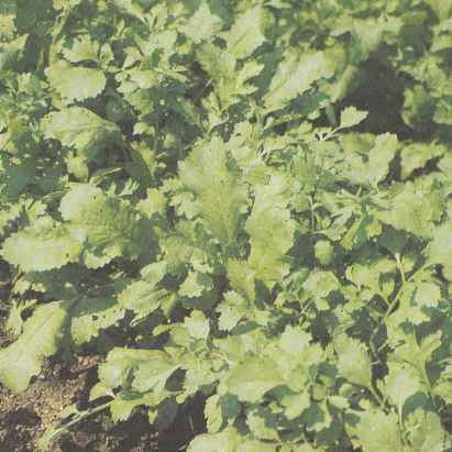 Выращивание кресс-салата, его свойства Польза продуктов Пряности и приправы