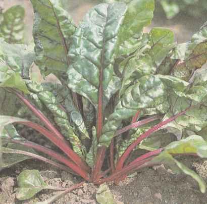 Растение мангольда, сорт Красночерешковый