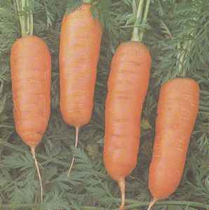 Свойства моркови, сорта столовой моркови
