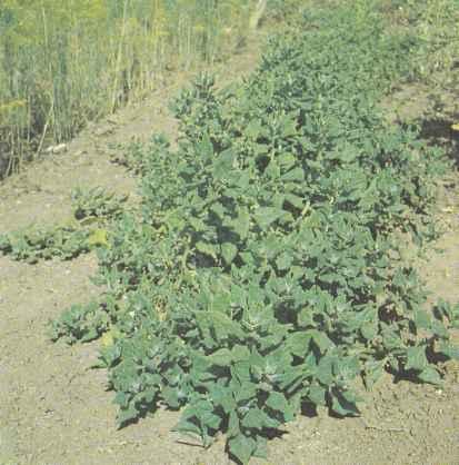 Выращивание новозеландского шпината, его свойства Польза продуктов Пряности и приправы