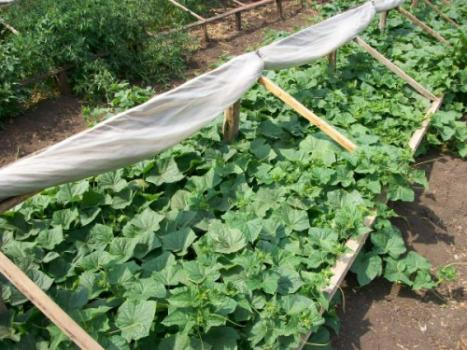 Выращивание огурцов в теплицах, под пленочными укрытиями