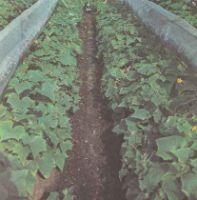 Выращивание огурцов в теплицах, под пленочными укрытиями Польза продуктов Пряности и приправы
