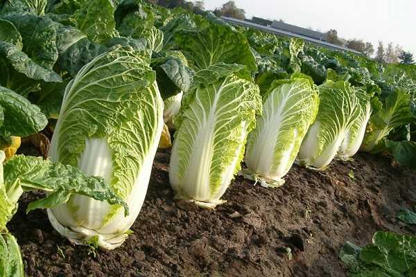 Выращивание пекинской капусты, сорта и свойства пекинской капусты