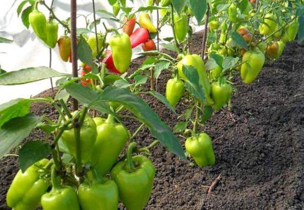 Выращивание перца. Перец сладкий стручковый