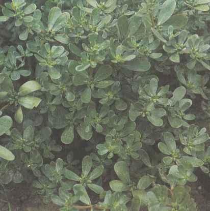 Выращивание портулака, свойства портулака Польза продуктов Пряности и приправы