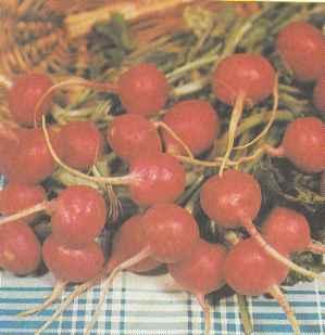 Выращивание редиса, сорта редиса Польза продуктов Пряности и приправы