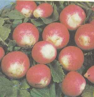 Выращивание редиса, сорта редиса