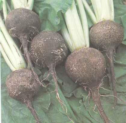 Выращивание редьки, ее сорта. Использование редьки Польза продуктов Пряности и приправы