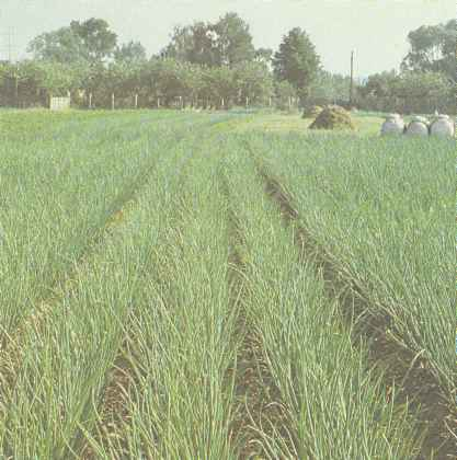 Выращивание репчатого лука, сорта лука Польза продуктов Пряности и приправы