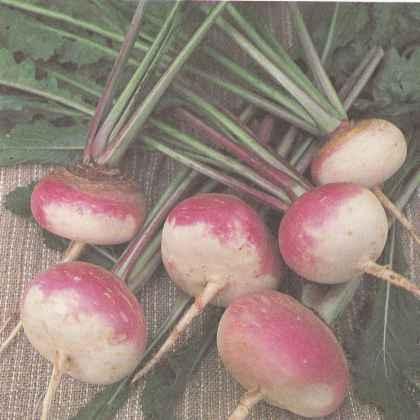 Выращивание репы, сорта репы Польза продуктов Пряности и приправы