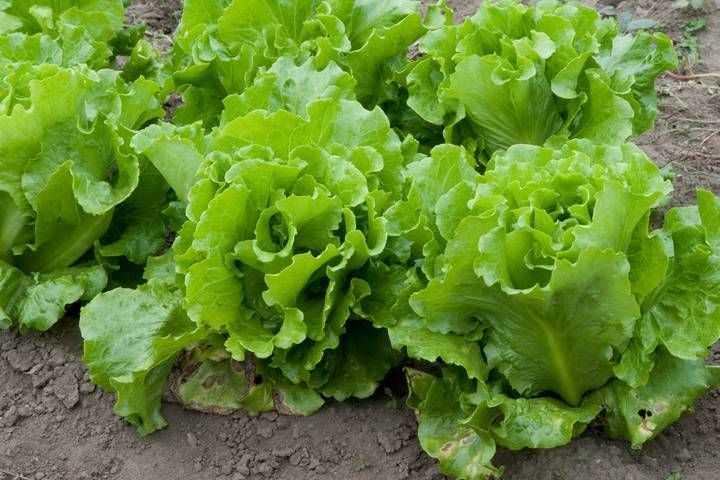 Выращивание салата кочанного. Сорта салата кочанного