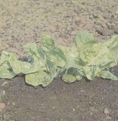 Салат листовой, сорт Московский парниковый