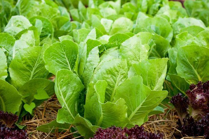 Выращивание салата ромен, его сорта
