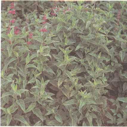 Выращивание стахиса, использование стахиса и его свойства