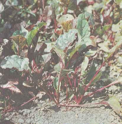 Выращивание свеклы, сорта свеклы и ее свойства Польза продуктов Пряности и приправы
